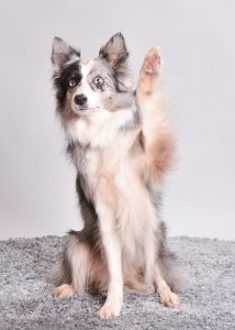 Border Collie Diamond