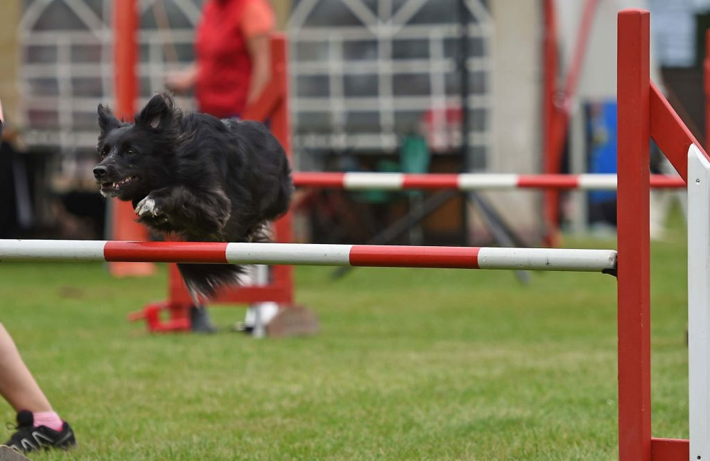 Agility Border Collie Lower Saxon Cool