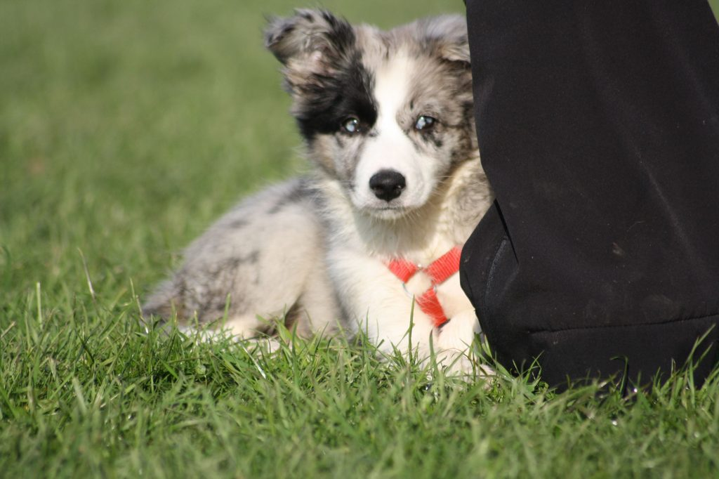 Lower Saxon Border Collie Diamond